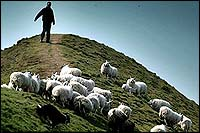 Feed my sheep, hillside flock